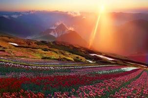 blommande tulpaner foto