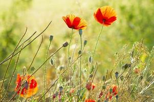 sommaräng, vallmo och vallmo bland gräs och örter