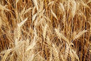 närbild fält av moget gult vete