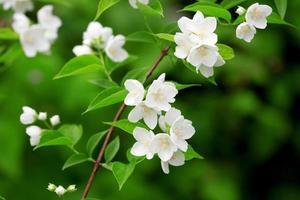 vacker blommande gren av jasmin foto
