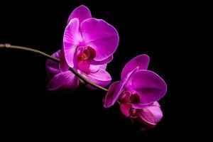 orkidéblommor på svart bakgrund