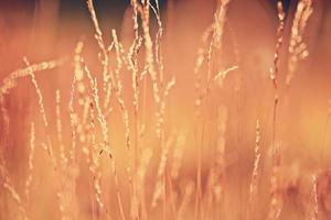 suddig bakgrund torrt gräs solnedgång