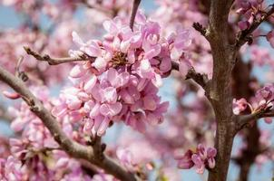 träd med rosa blommor foto
