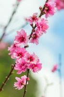 vild himalayan körsbärs vårblomning.