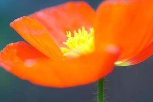 glödande konstnärlig vy makro av majs vallmo blommor foto