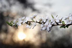 blommande gren av körsbär foto