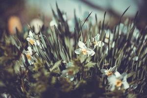 vackra påskliljor i sommarträdgården