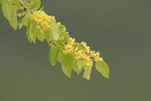 blommande gren foto