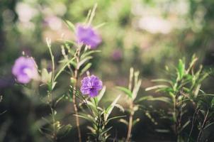 ruellia tuberosa blomma vintage foto