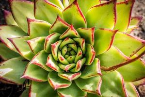 röd kantad kaktus foto