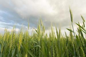 grönt vete under dramatisk himmel foto