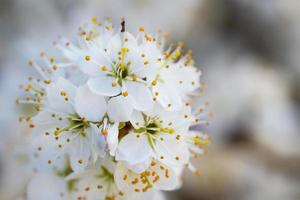 Blackthorn blossom foto