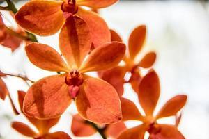 vacker thai orkidéblomma foto