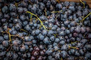 blå druvor foto