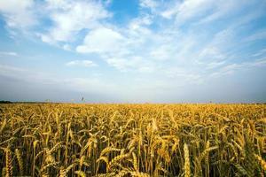 guldfält av vete mot blå himmel foto