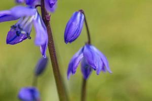 lila iris på våren