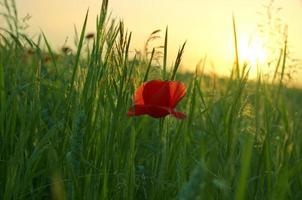 blomma av en röd vallmo mot en solnedgång foto