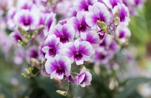 lila hybrid dendrobium orkidé blomma foto