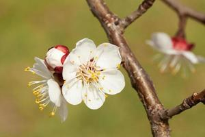 aprikosblomma foto