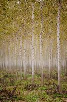 stammar björkträd