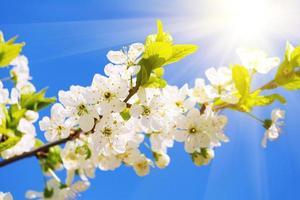 vita körsbärsblommor på våren foto