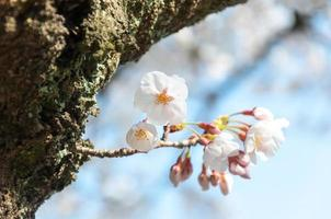 sakura blomning på våren