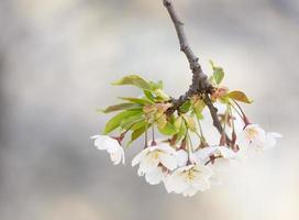 gren av vit chery blomma.