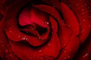 röd ros i vattendroppe