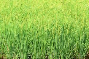 risfält i Thailand