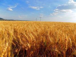 kornfält och himmel foto