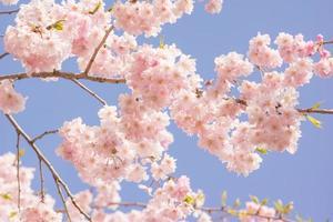 dubbla körsbärsblommor foto