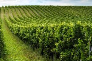 vackra rader av druvor