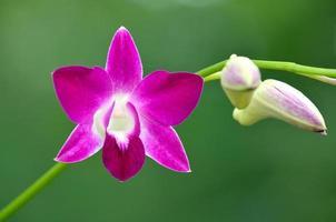 vacker lila orkidé, Thailand foto