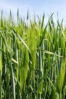 grönt vete fält foto