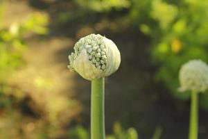 allium sativum, vetenskapligt namn blomman vitlök