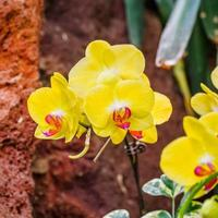 vackra orkidéer, phalaenopsis, i grönt hus