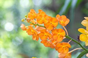 rerides rosea orkidé, rhynchostylis coelestis den vilda orkidén i Thailand