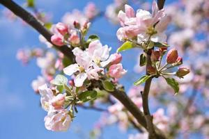 äppelträd blommar foto