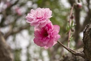 körsbärsblommor blommor foto