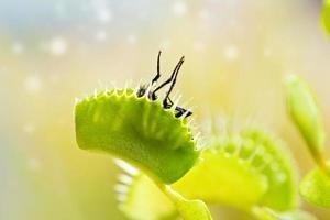 närbild av venus flytfälla (dionaea muscipula) äter en fluga. foto