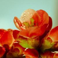 röd vårblomma foto