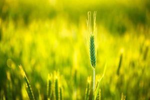 grönt vete i fält foto
