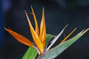 paradisfågel, kranblomma, strelitzia reginae foto