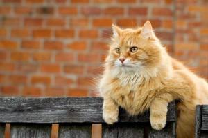 röd katt foto