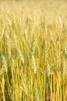 kornfält