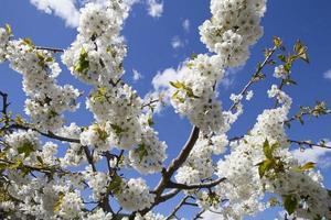 körsbärsblommor foto