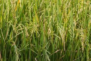 det vackra landskapet med risfält