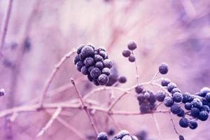 bär av vild liguster i rimfrost foto