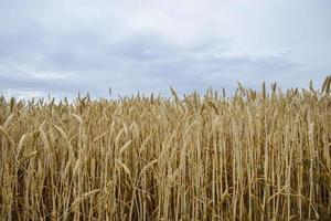 gyllene kornfält1