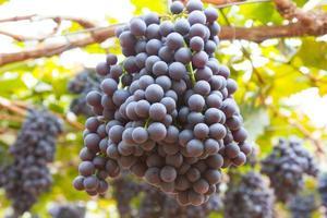 flera klasar av mogna druvor på vinstocken